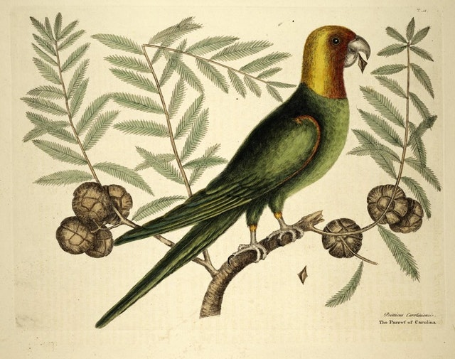 Birds from The Natural History of Carolina, Florida, and the Bahama Islands (1754)