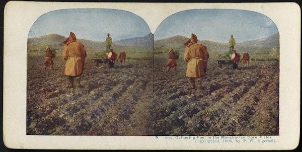 Gathering fuel in the Manchurian corn fields