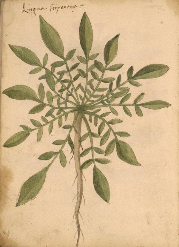 erbario 15th century herbal