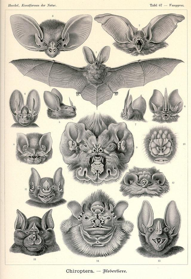 Ernst Haeckel's Bats (1904)