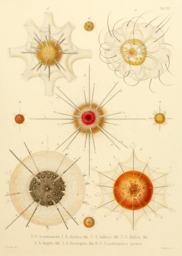 Ernst Haeckel Radiolaria The Public Domain Review