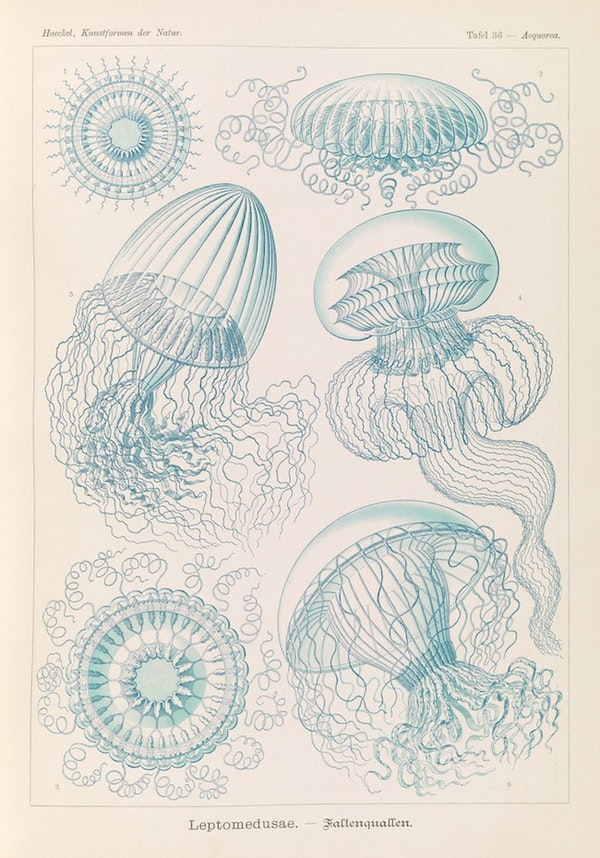 haeckel jellyfish medusae art forms of nature