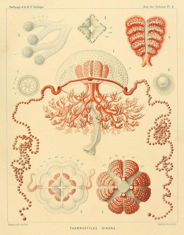 haeckel jellyfish medusae