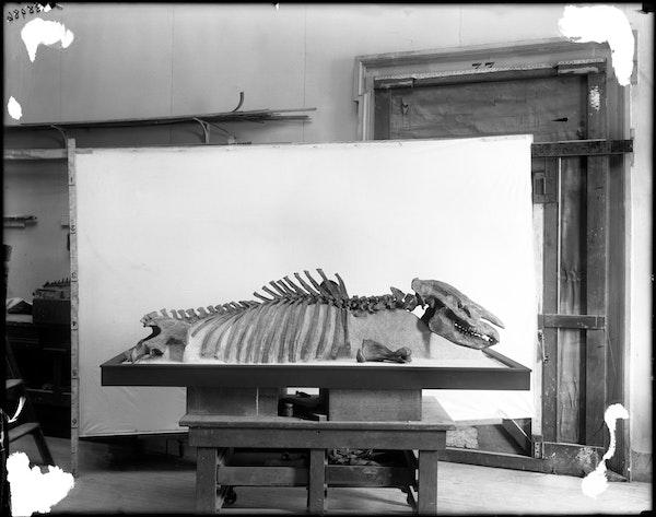 Dolichorhinus longiceps skeleton