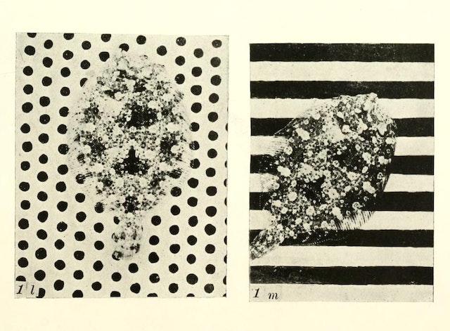 Flatfish Camouflage Experiments (1911)