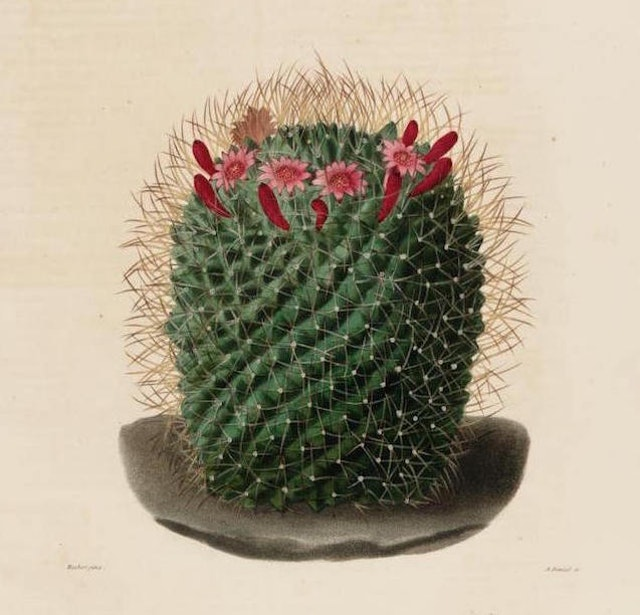 Illustrations from a Descriptive Iconography of Cacti (1841)