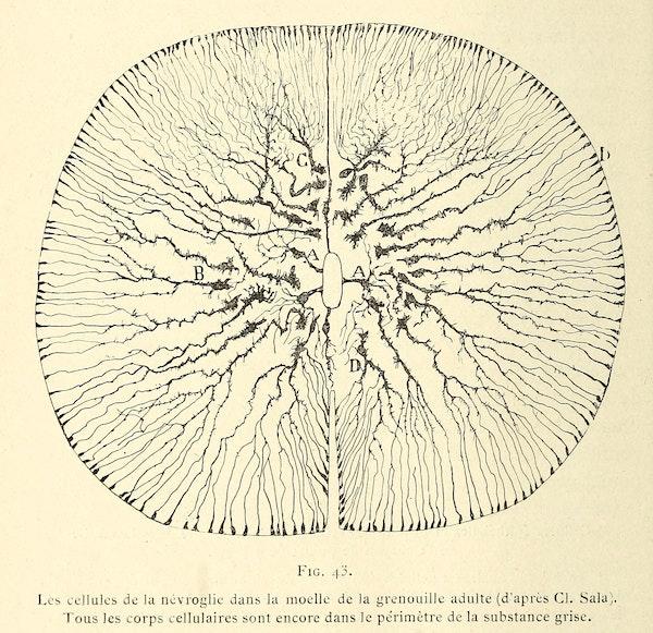 Santiago Ramon y Cajal illustration of nerve cells