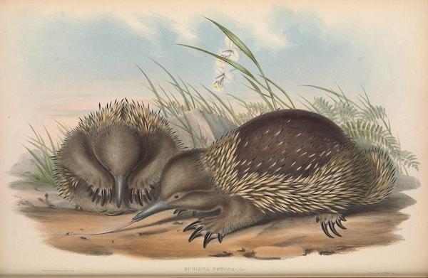 john gould mammals of australia bristly echidna