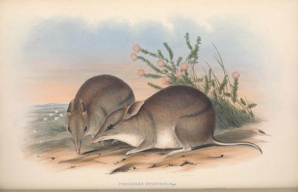 john gould mammals of australia western-barred bandicoot