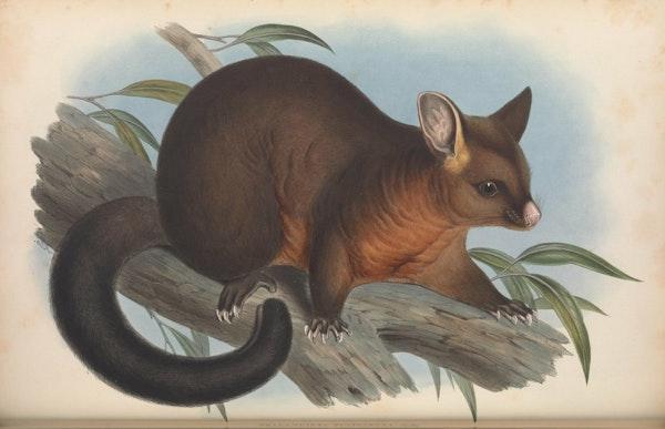 john gould mammals of australia phalancista fuliginosa