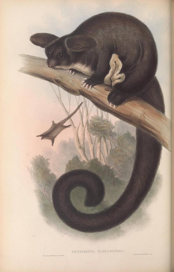 john gould mammals of australia flying squirrel