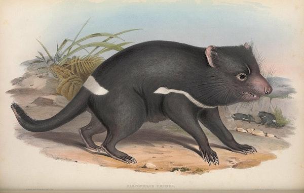 john gould mammals of australia tasmanian devil