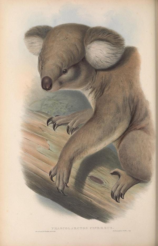 john gould mammals of australia koala