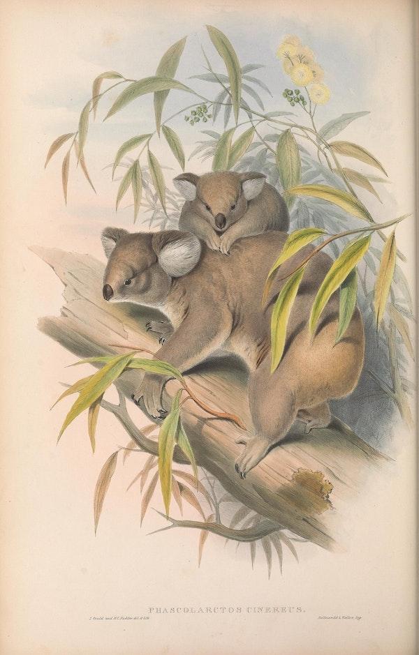 john gould mammals of australia koalas