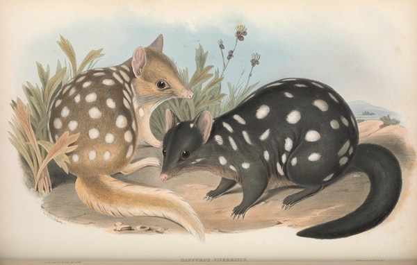 john gould mammals of australia eastern quoll