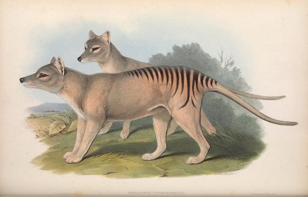 john gould mammals of australia thylacine