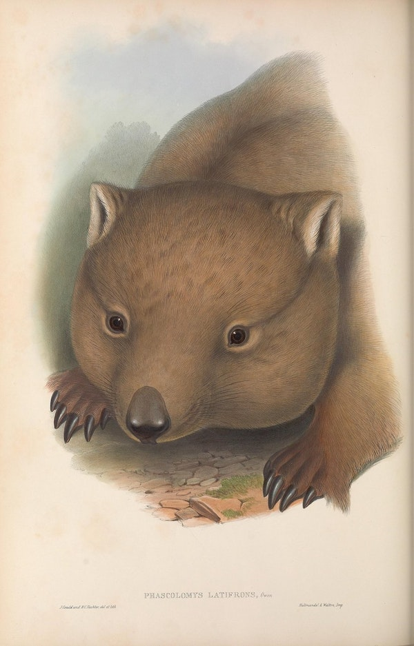 john gould mammals of australia southern hairy nosed wombat