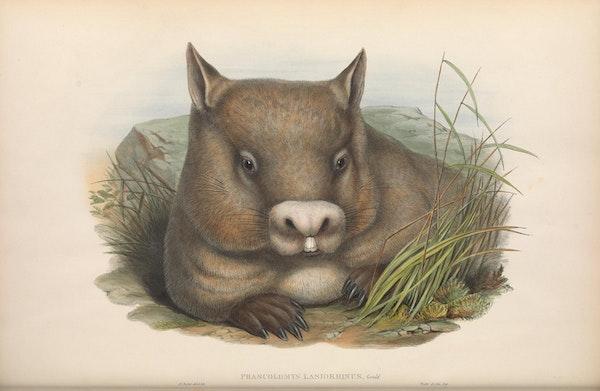 john gould mammals of australia hairy nosed wombat