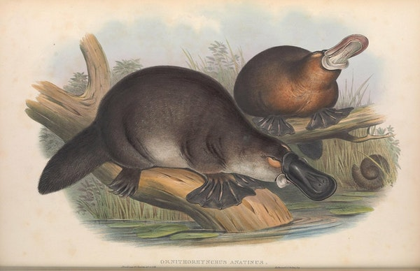 john gould mammals of australia platypus