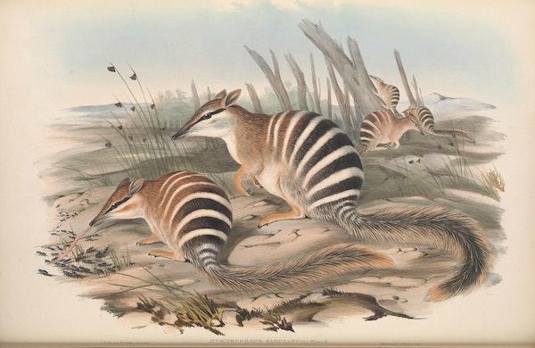 john gould mammals of australia numbat