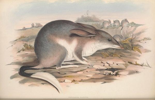 john gould mammals of australia macrotis