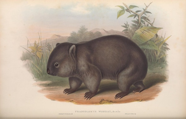 john gould mammals of australia common wombat