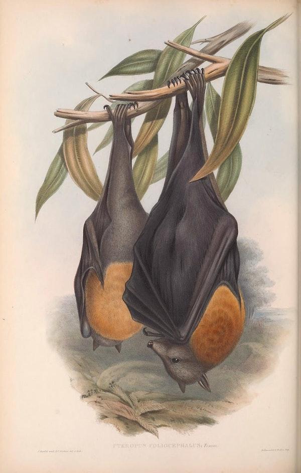 john gould mammals of australia fruit bat