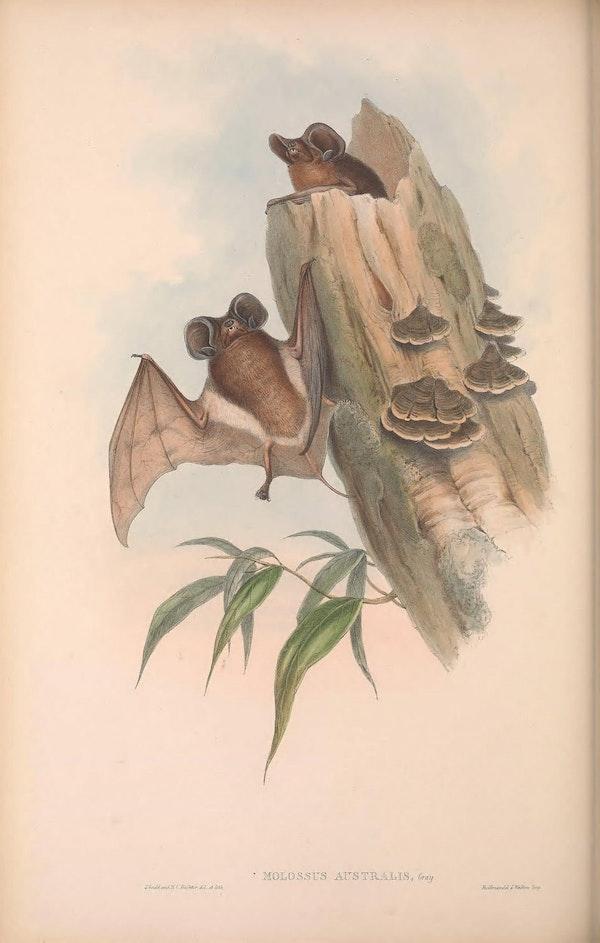 john gould mammals of australia white striped free tailed bat