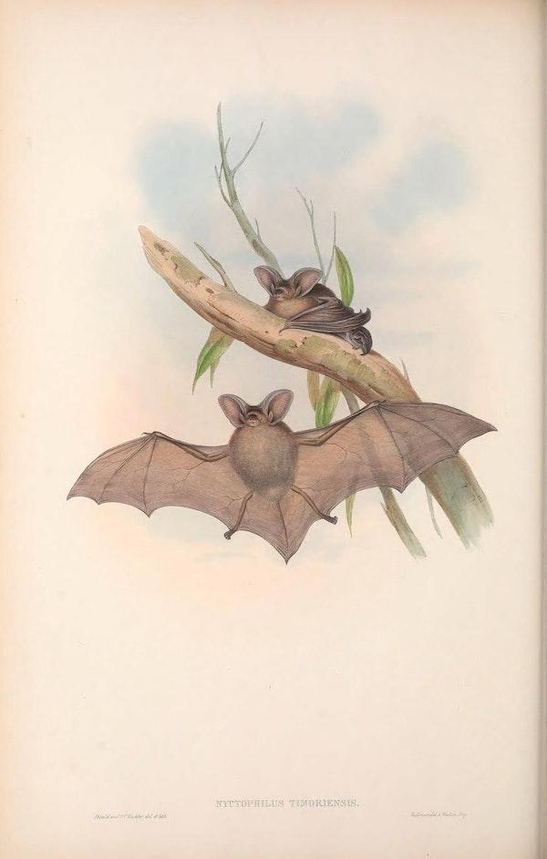 john gould mammals of australia long eared bat
