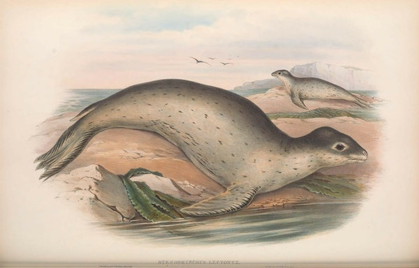 john gould mammals of australia sea leopard seal