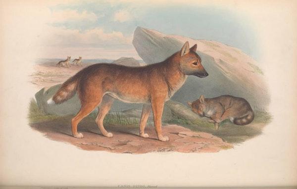 john gould mammals of australia dingo