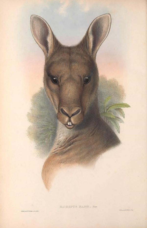 john gould mammals of australia grey kangaroo