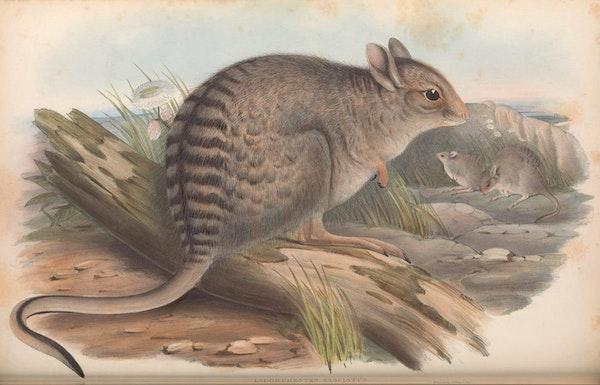 john gould mammals of australia banded hare wallaby