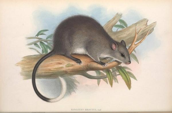 john gould mammals of australia black footed tree rat