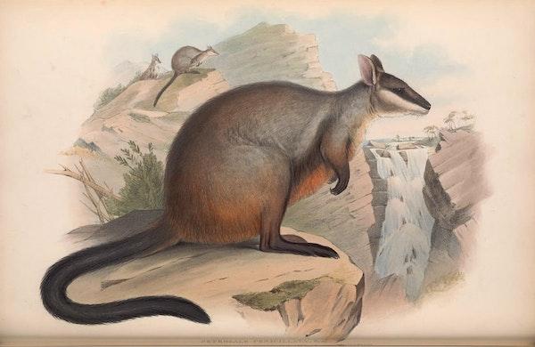 john gould mammals of australia brush tailed rock wallaby