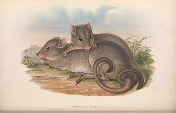 john gould mammals of australia mainland boodie