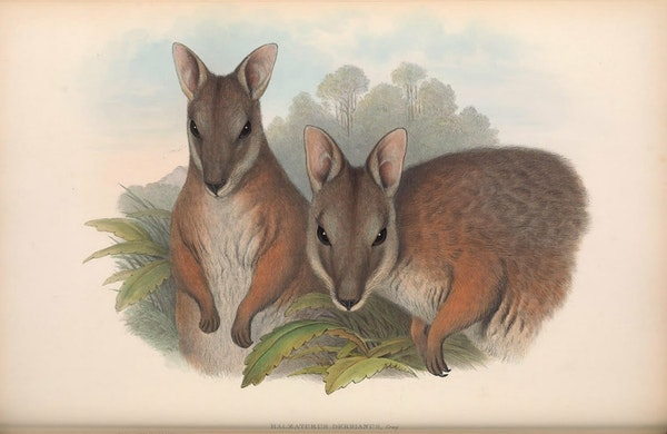 john gould mammals of australia tammar wallaby