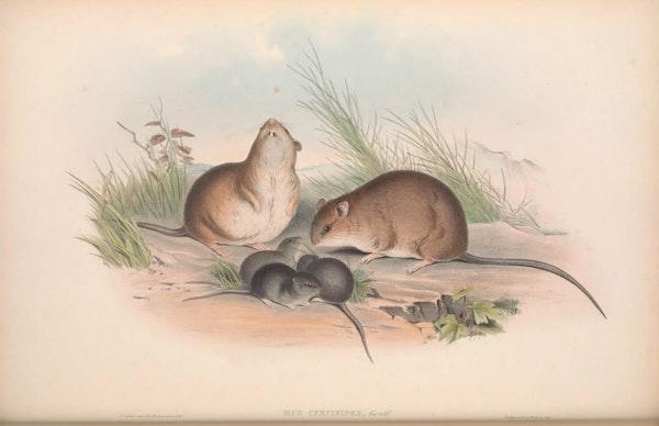 john gould mammals of australia fawn footed mosaic rat