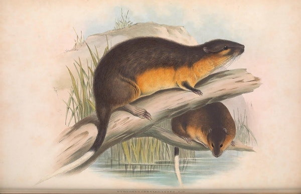 john gould mammals of australia water rat