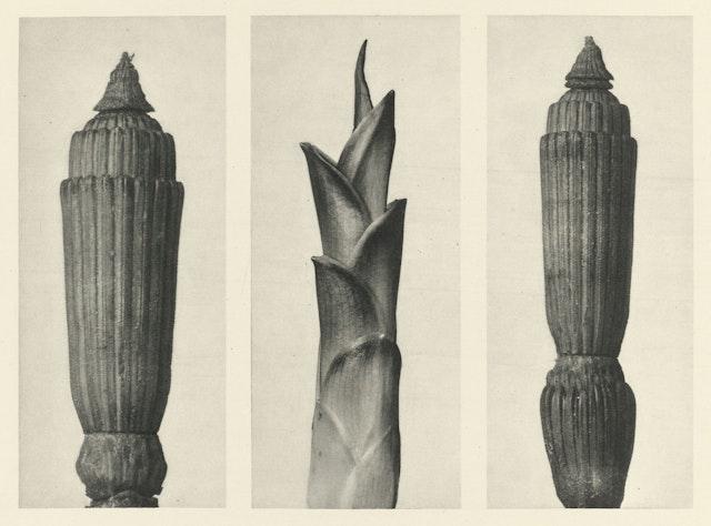 Karl Blossfeldt's Urformen der Kunst (1928)