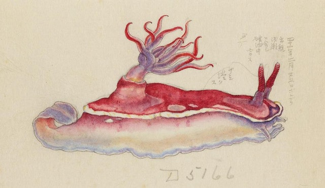 Kumataro Ito's Illustrations of Nudibranchs from the USS Albatross' Philippine Expedition (ca. 1908)