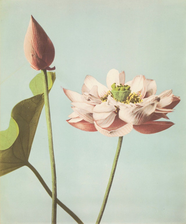 Ogawa Kazumasa's Hand-Coloured Photographs of Flowers (1896)