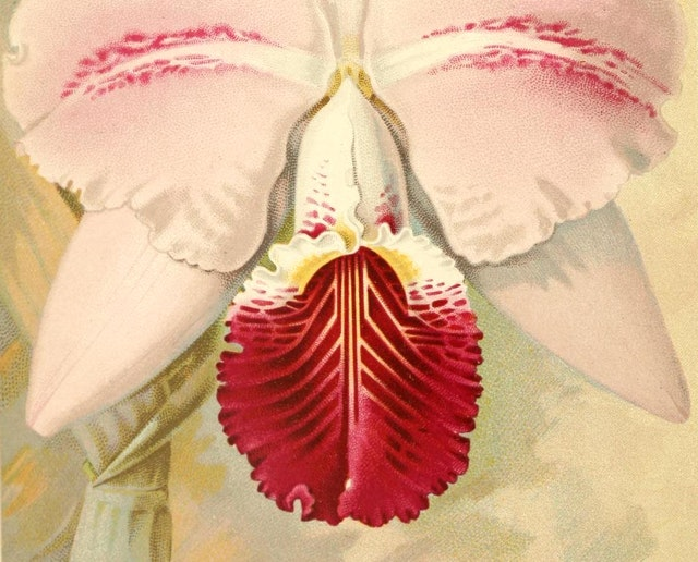 Albert Millican's *Travels and Adventures of an Orchid Hunter* (1891)