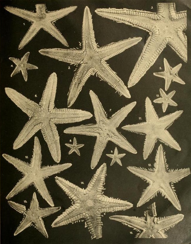 Photographs of Sea Stars (1917)