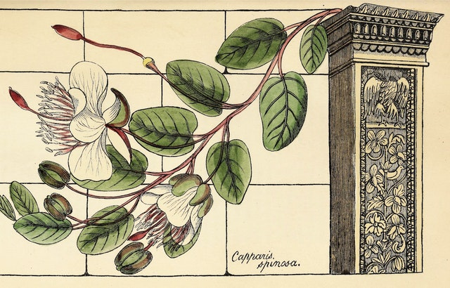 Richard Deakin's Flora of the Colosseum of Rome (1855)