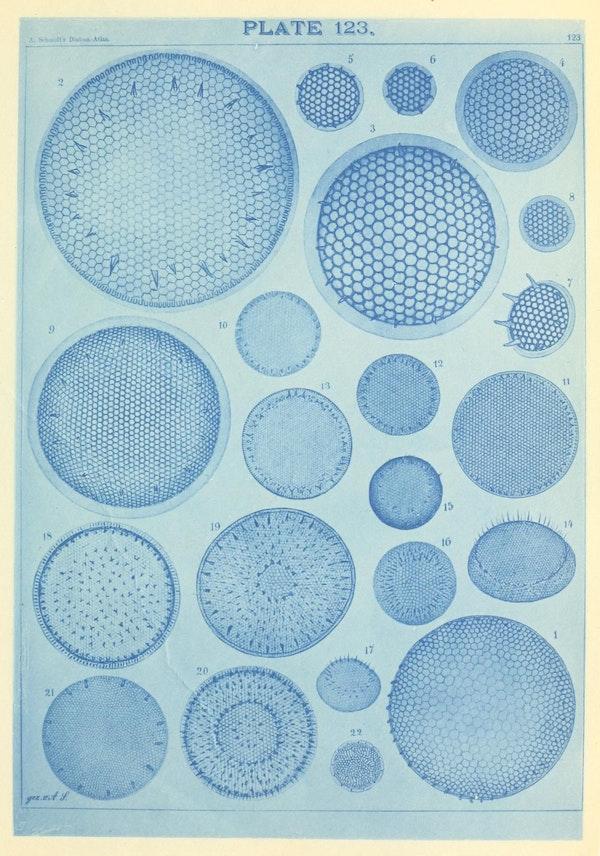 Illustration of diatom from Schmidt's *Atlas*