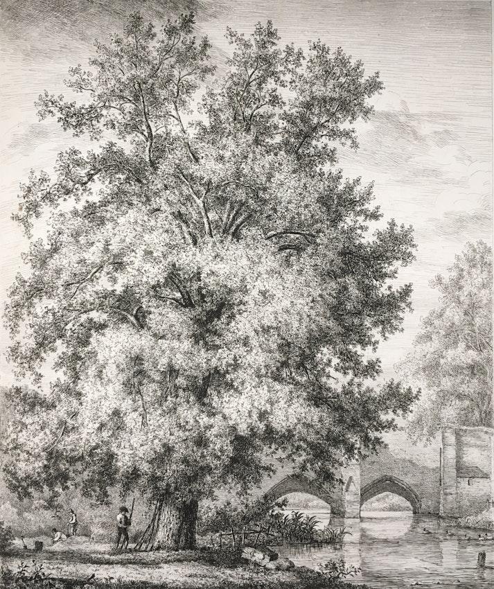 Engraving of the Black Poplar