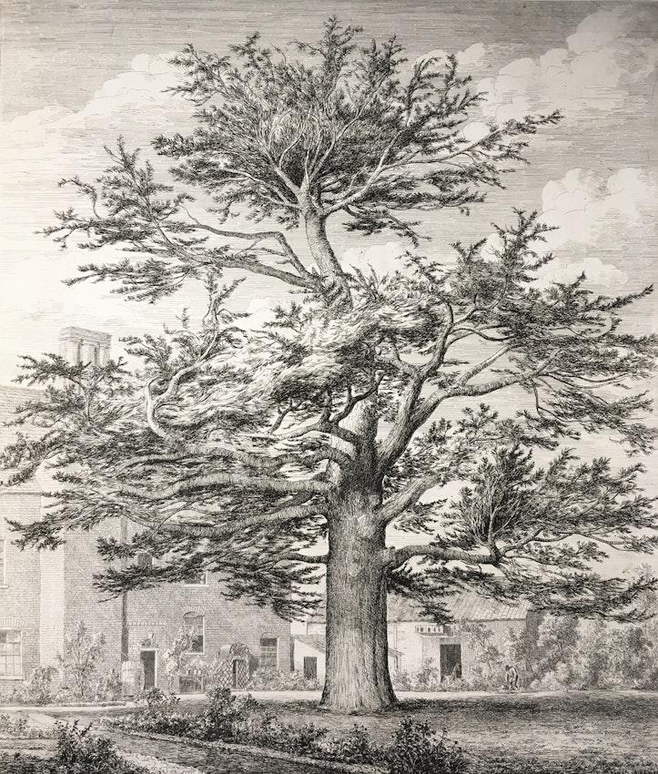Engraving of the Cedar