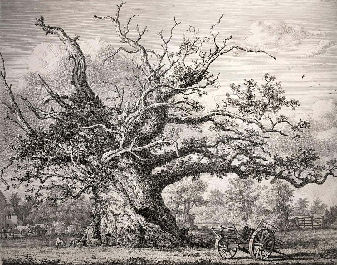 Engraving of the Cowthorpe Oak