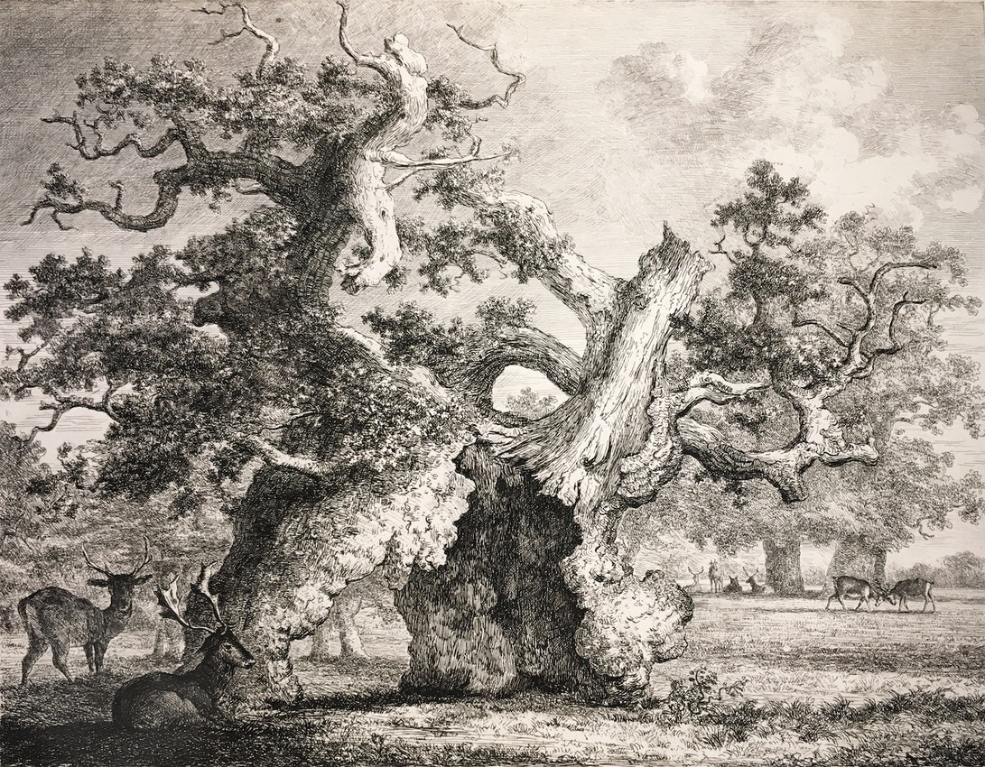 Engraving of the Salcey Forest Oak